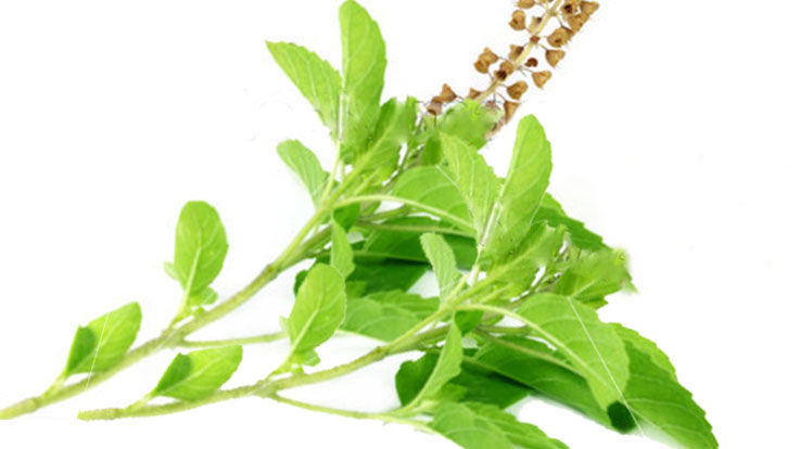 Tulsi Haldi Methi Dana Uses Health Benefits for Child family