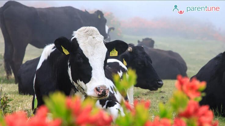 क्या हैं बच्चों को गाय का दूध पिलाने के 10 मुख्य फायदे