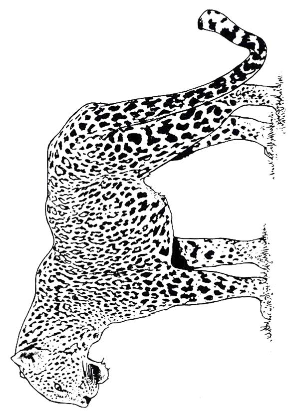 Angry Cheetah coloring pages