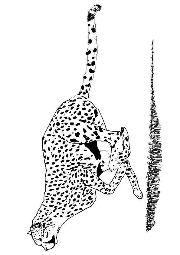 Free Printable Cheetah Coloring Pages Cheetah Coloring