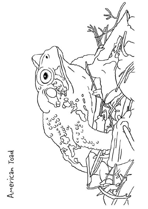 American Toad coloring pages