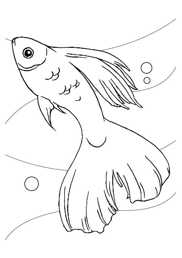 Long Tailed Koi Fish