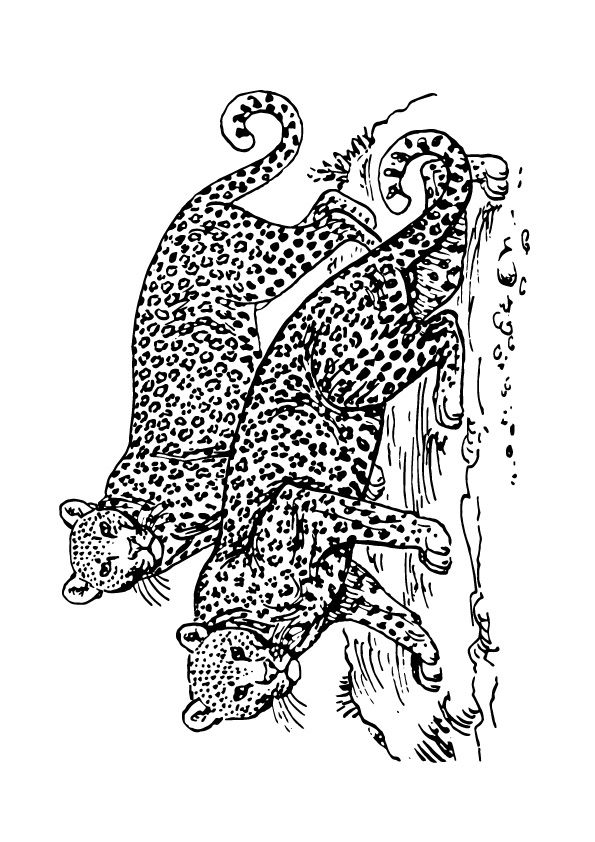 Two Leopards coloring pages