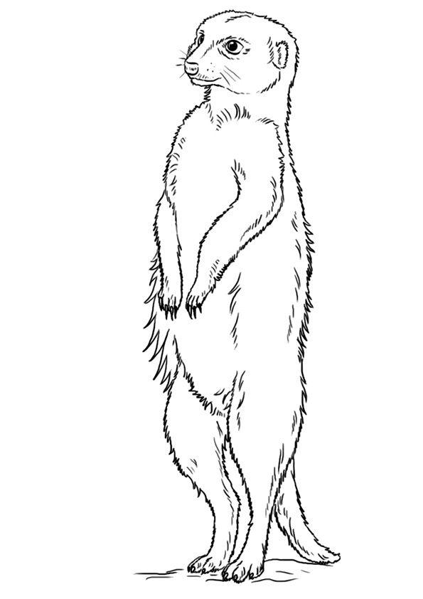 Free Printable Meerkat Coloring Pages Meerkat Coloring