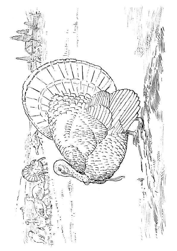 Gould Wild Turkey coloring pages