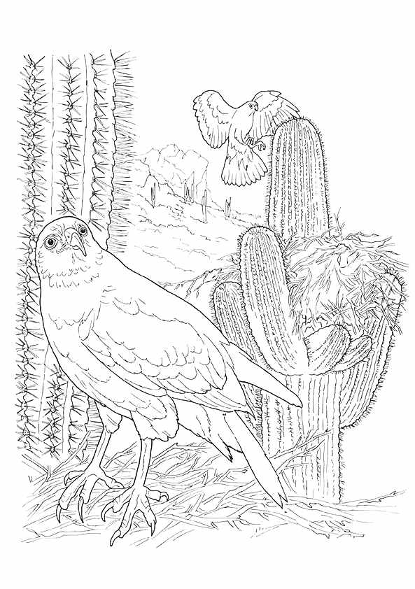 Harris Hawk & Cactus coloring pages
