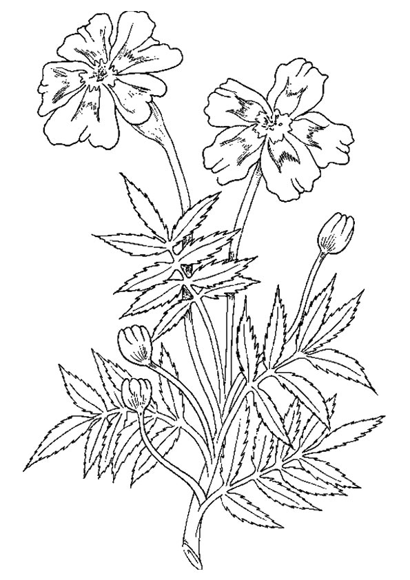 Marigold Flower coloring pages