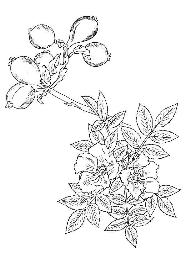 A wild rose coloring pages