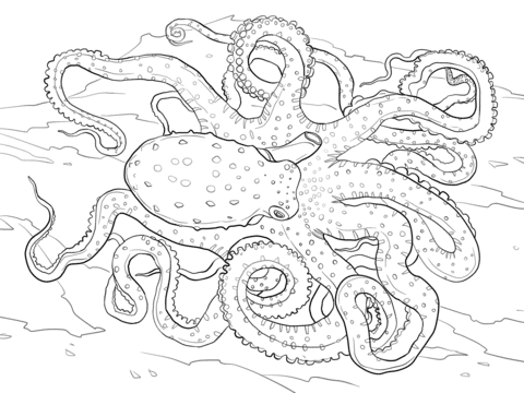 Atlantic Spotted Octopus coloring pages