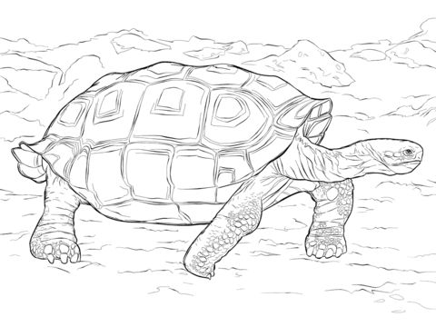 realistic galapagos tortoise coloring pages
