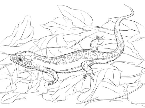 Sand Lizard coloring pages