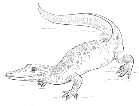 alligator coloring page coloring pages