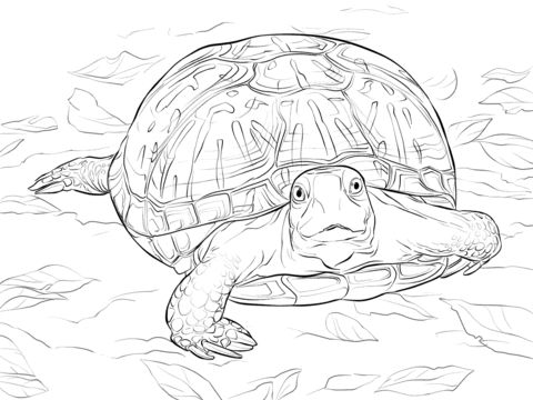realistic ornate box turtle coloring pages coloring pages