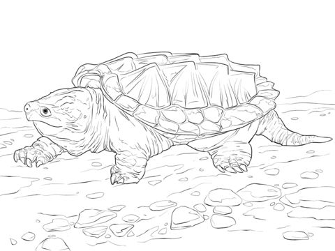 walking alligator snapping turtle coloring pages coloring pages