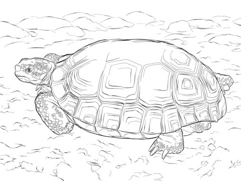 Agassizs Desert Tortoise coloring pages