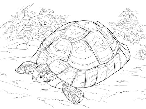 Horsfields Tortoise coloring pages