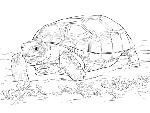 Gopher Tortoise coloring pages