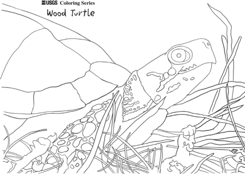 Wood Turtle coloring pages