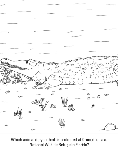 20 American Crocodile