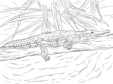 Freshwater Crocodile coloring pages